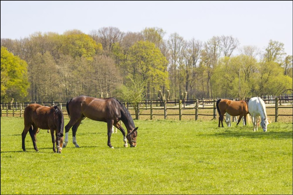 Horses on a Large Fenced Pasture